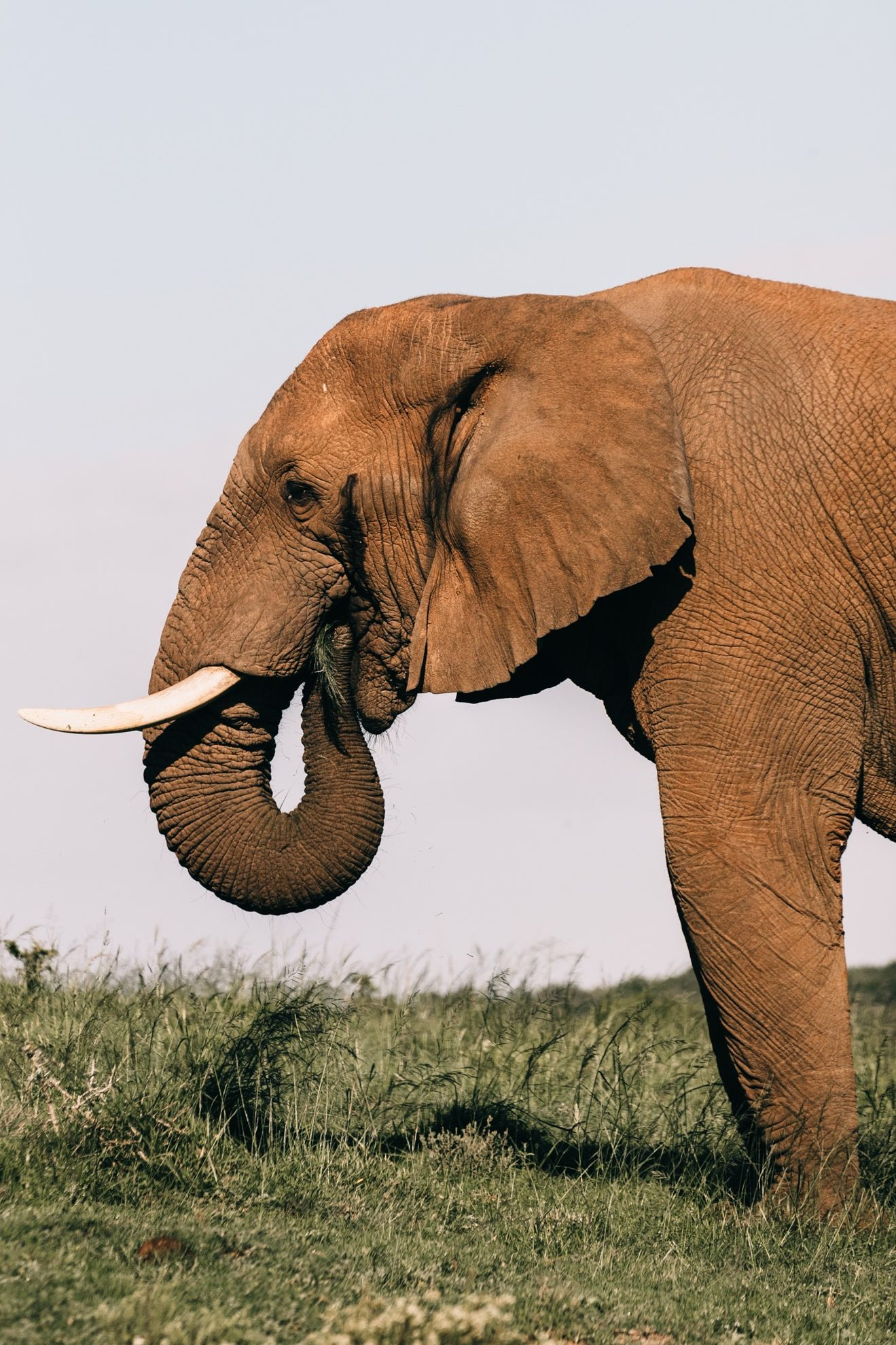 Elephant standing Firm